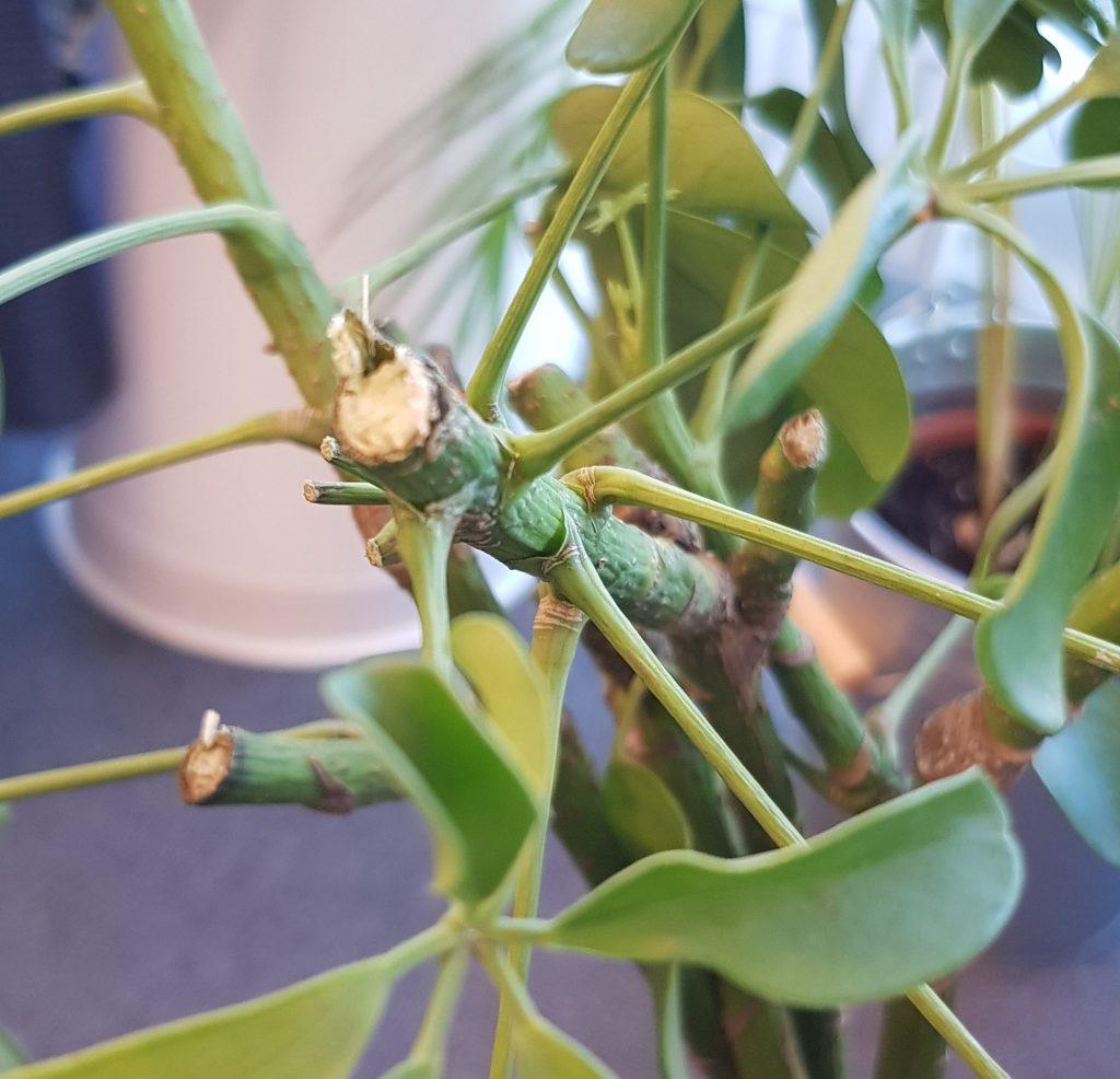 frostskader på grønne planter