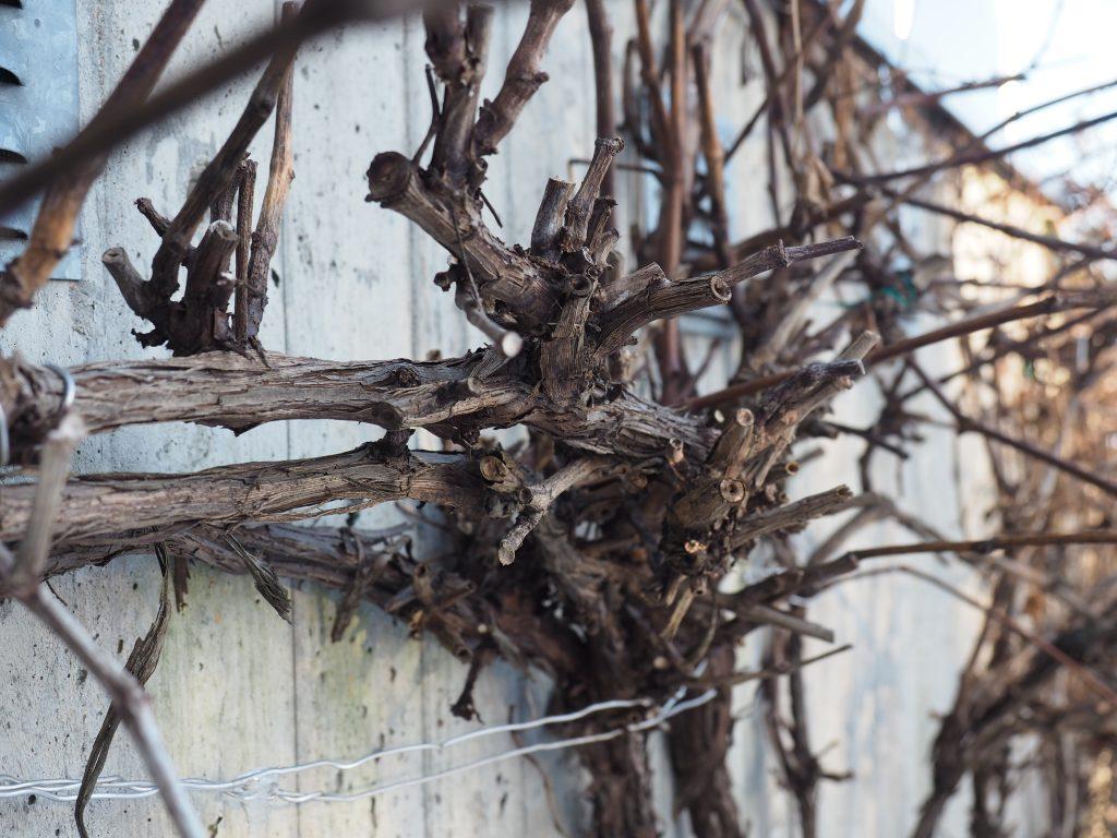 baskjæring av vinranke