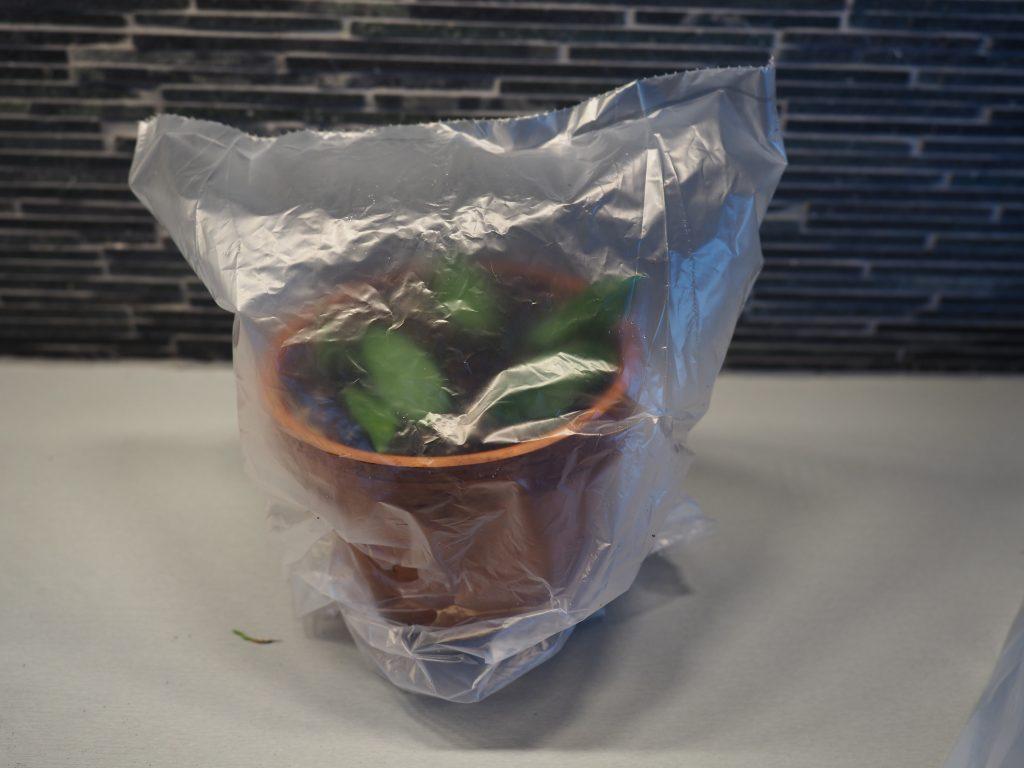 stiklinger av Hoya