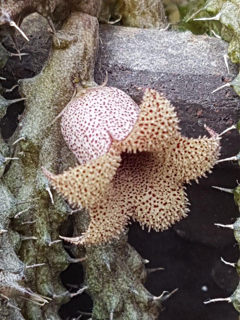 Hiernia blomst