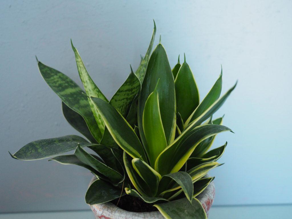 svigermors tunge plante