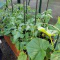flere tomater og stiklinger
