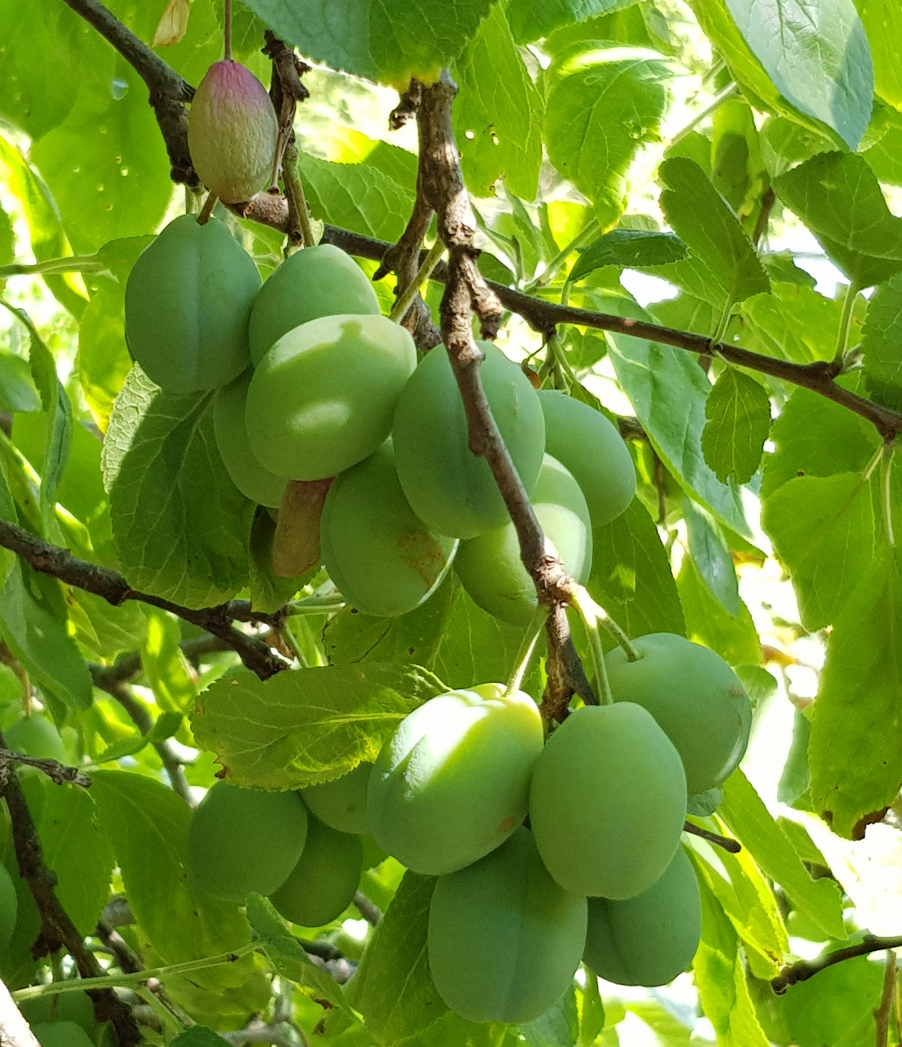 På høy tid å tynne plommer nå for søtere og større frukt