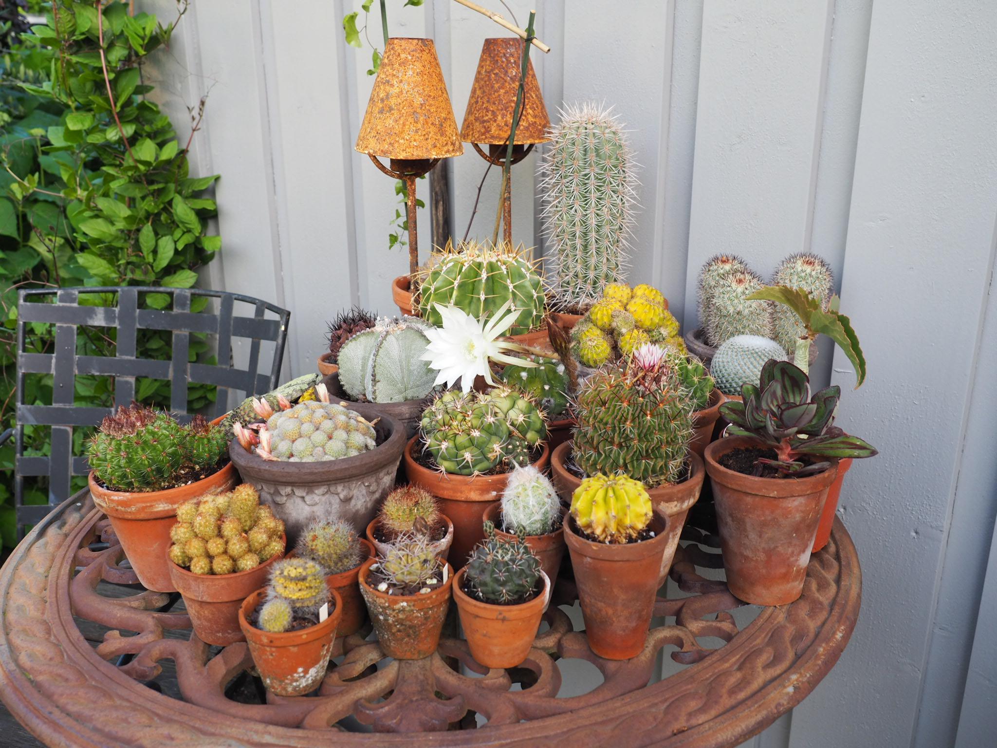 Litt stell av kaktus nå gir trygg overvintring.