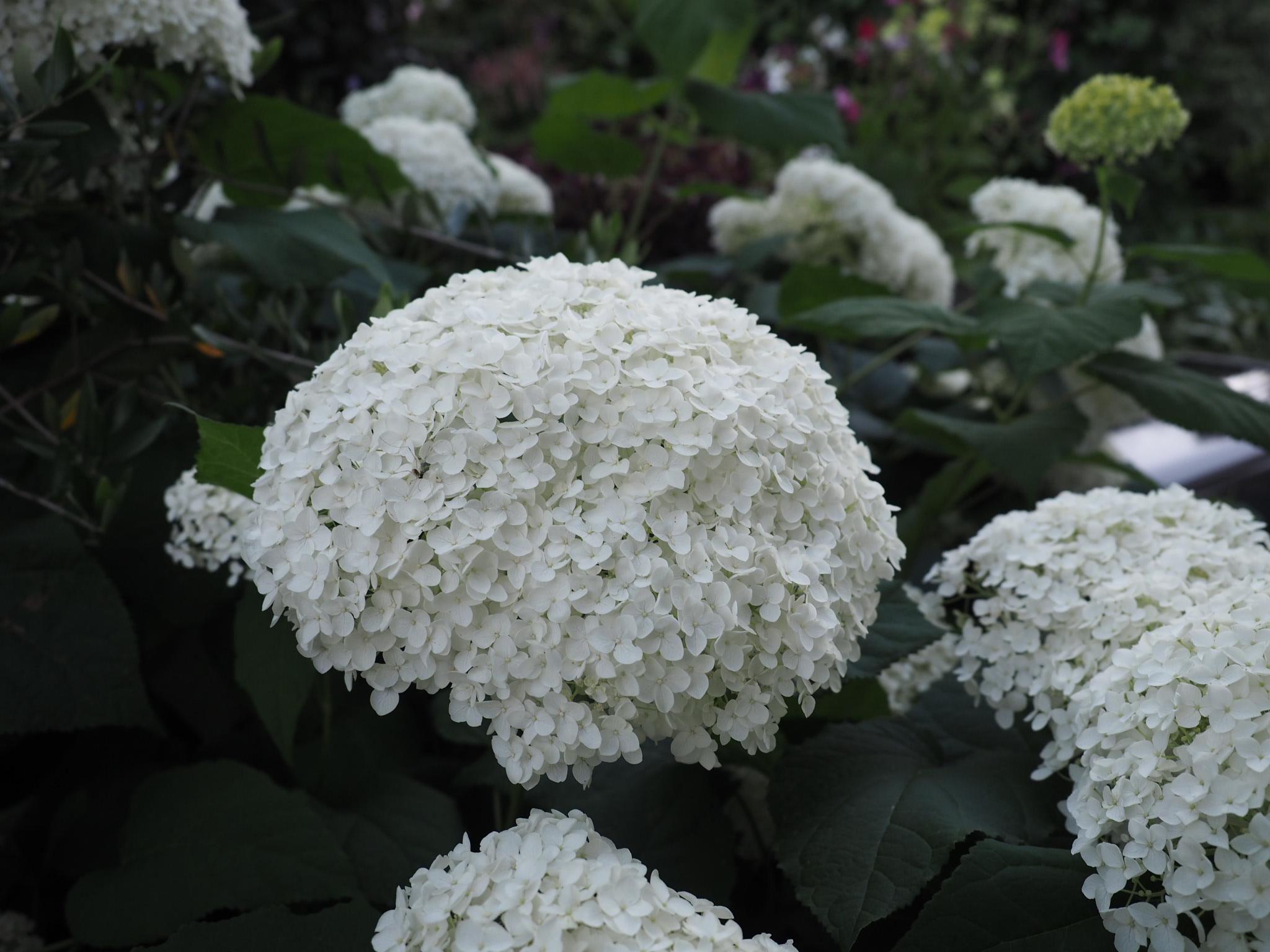 Vierhortensia «Annabelle» er ikke bestevenn med regn og hagl!