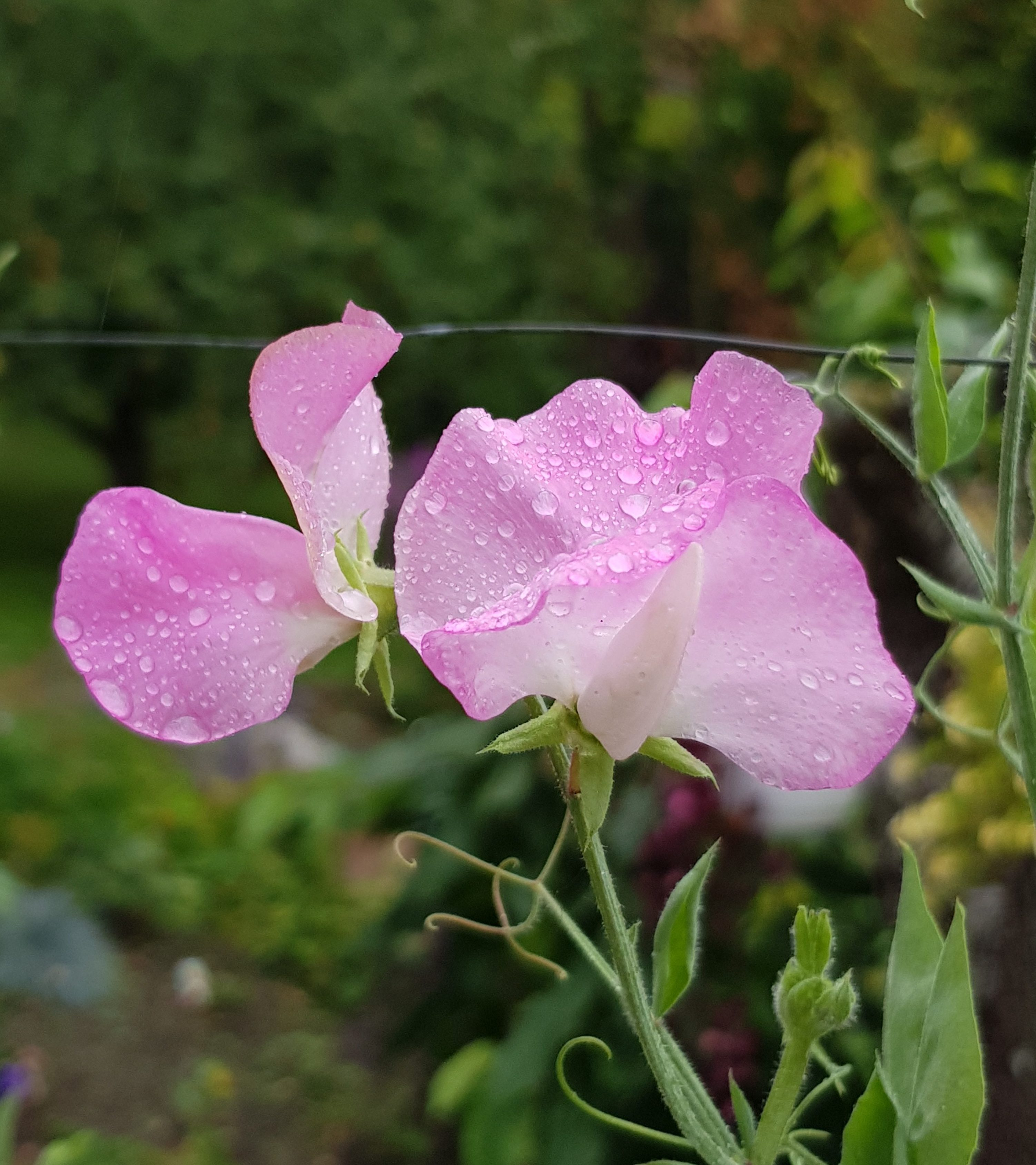 Stell av erteblomst for god blomstring hele sommeren og utover høsten