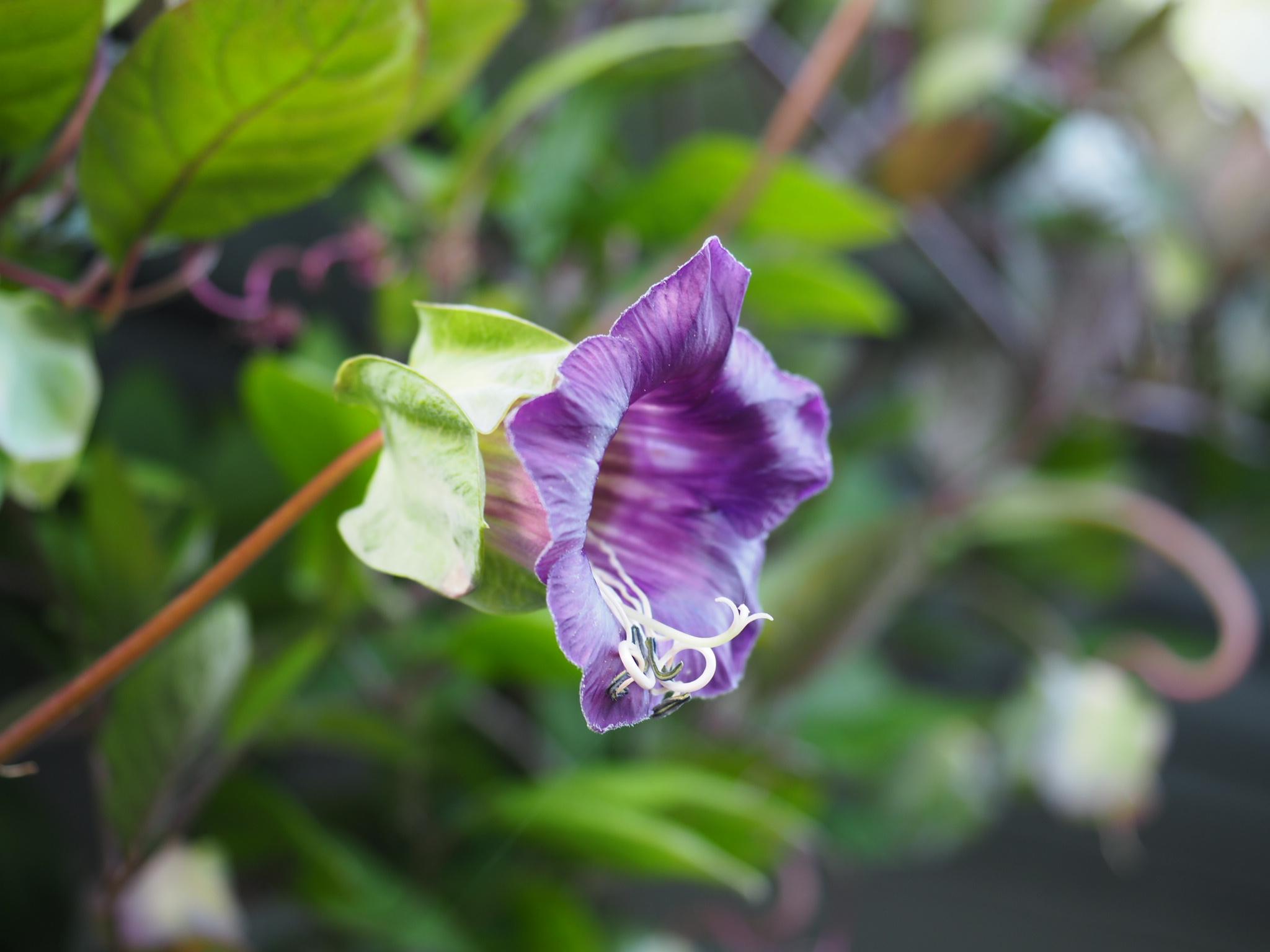 Cobaea scandens — på min liste over perfekte klatreplanter!