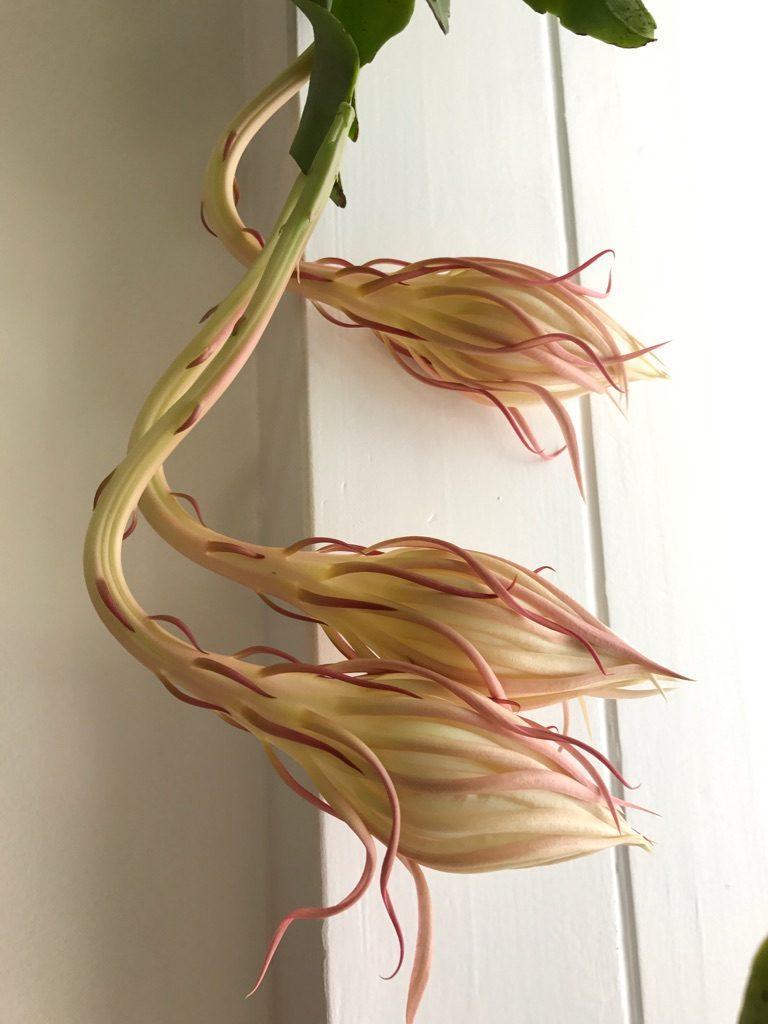 bladkaktus epiphyllum