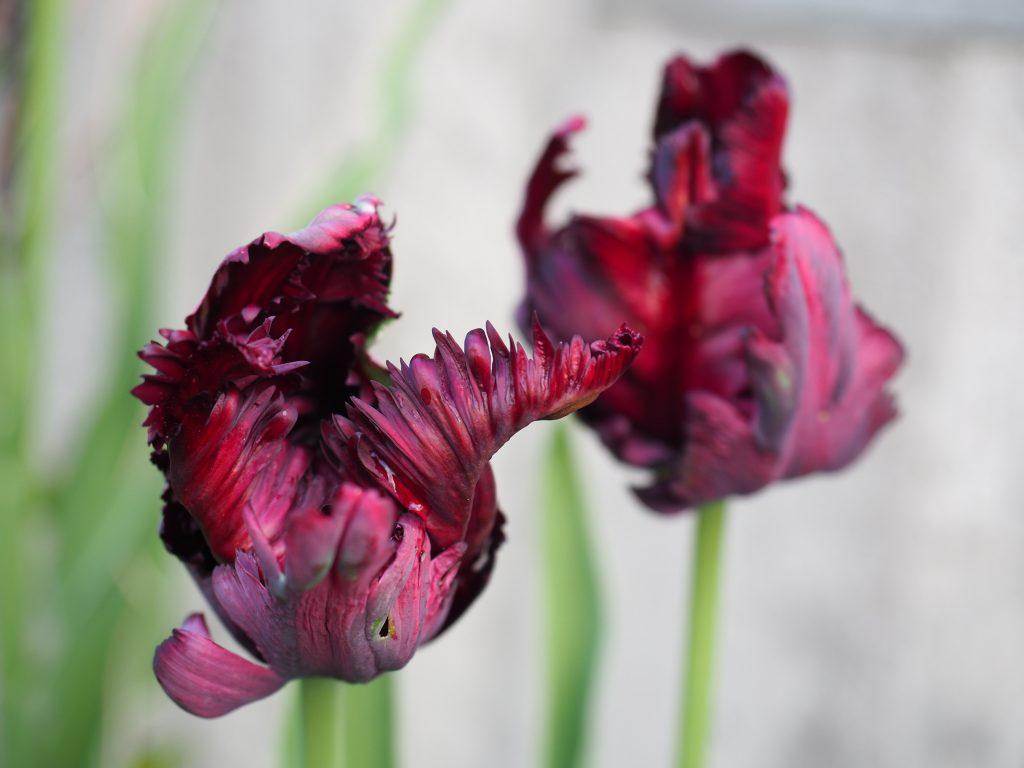 plante blomsterløk