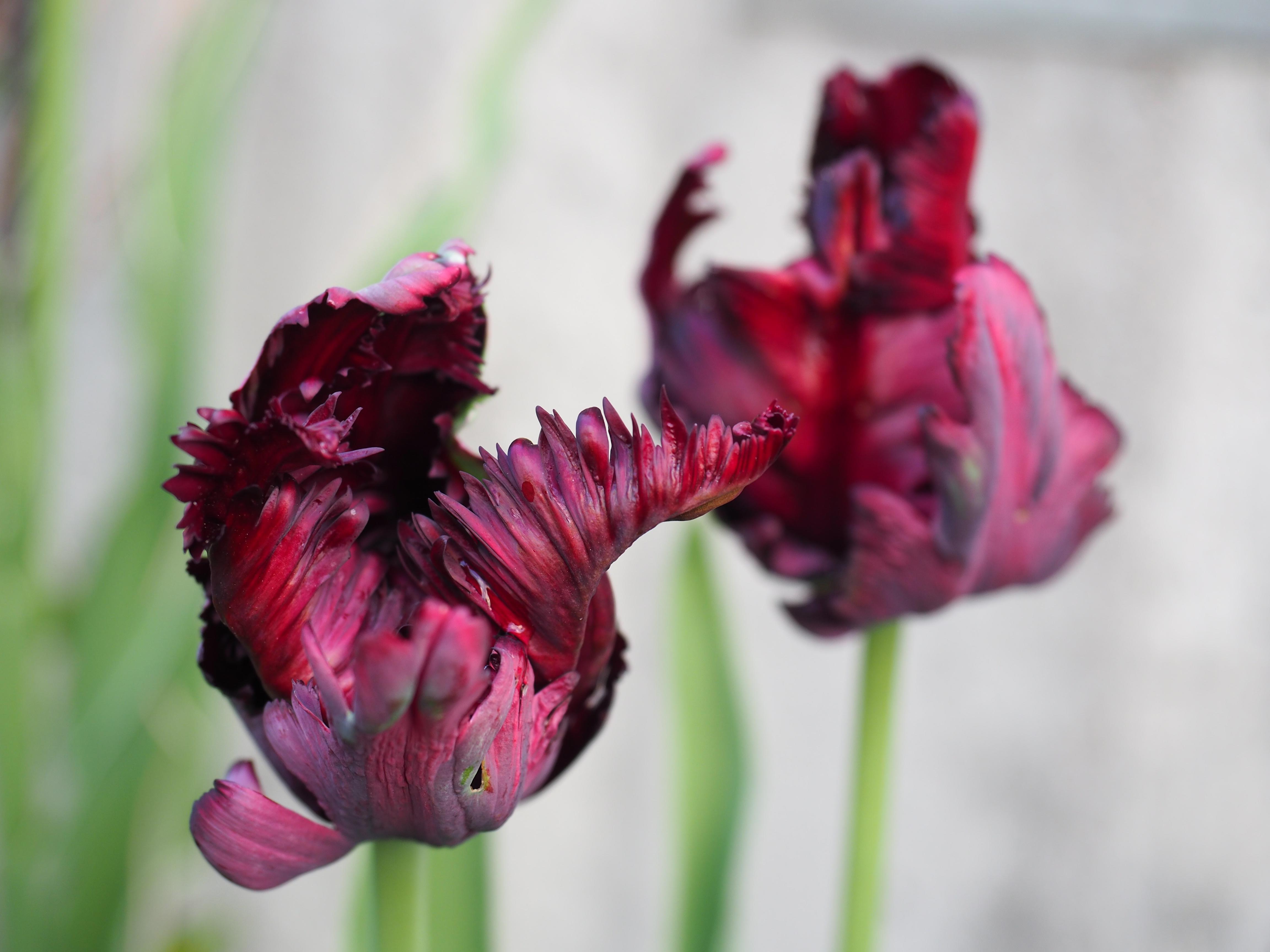 Tulipanens dag — en fest i farger, og løfte om vår