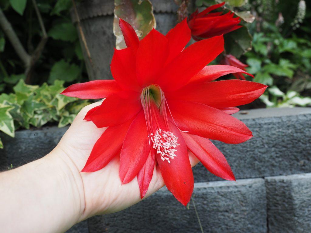 rød epiphyllum