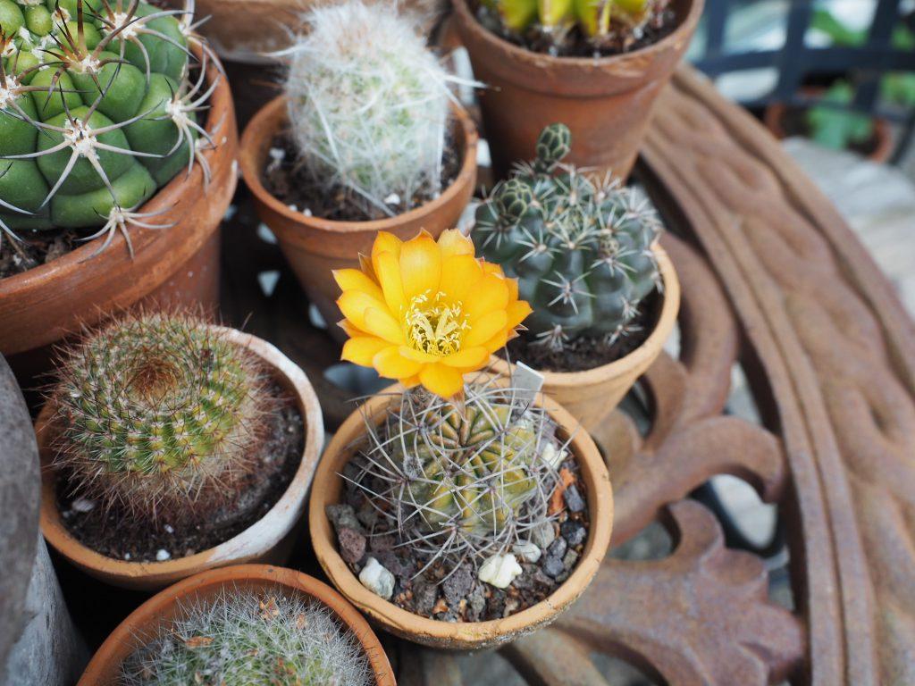 stell av kaktus