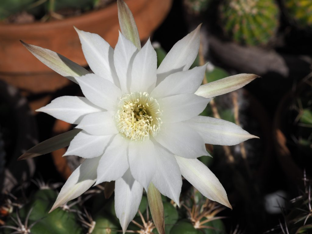 råte på kaktus