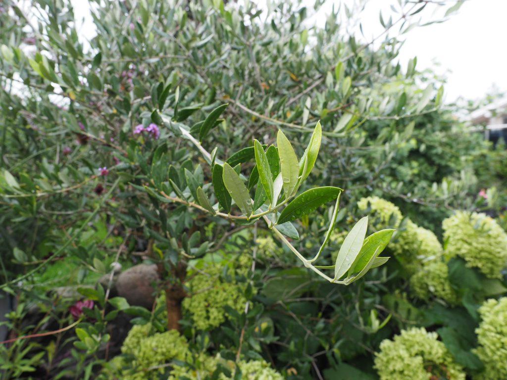 overvintring av oliven