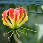 krøll lilje