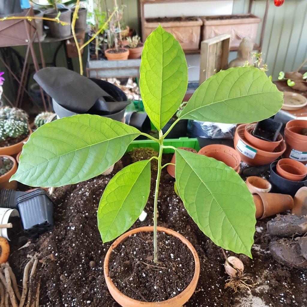 Avokado grønnplante