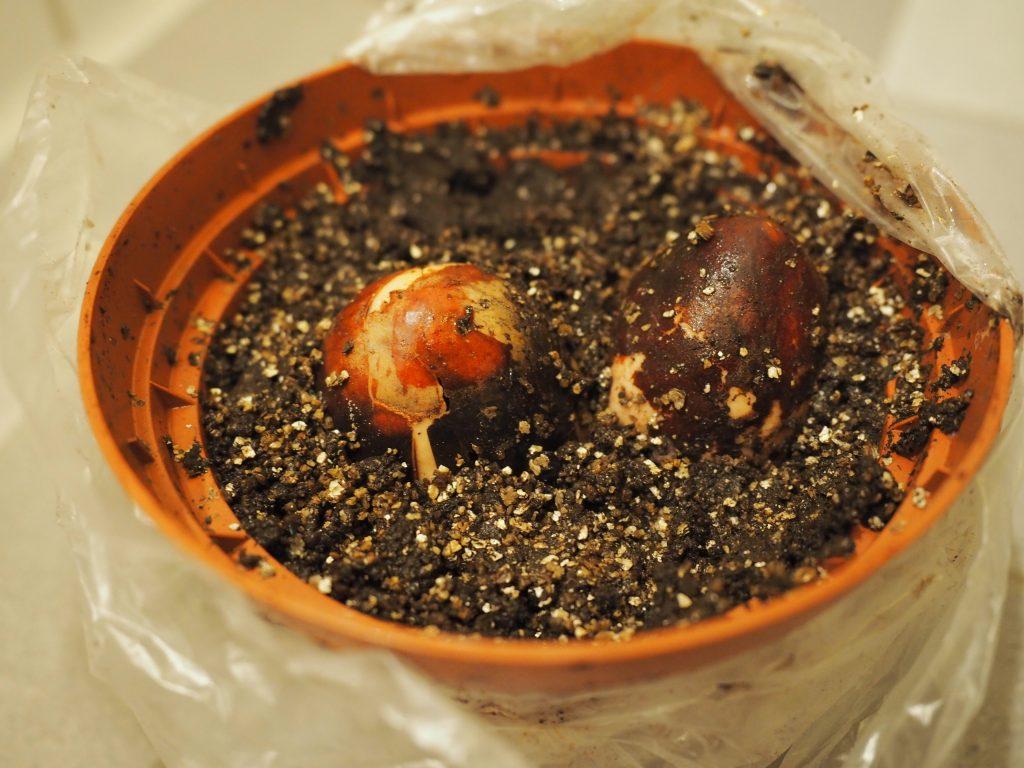 plante avokado