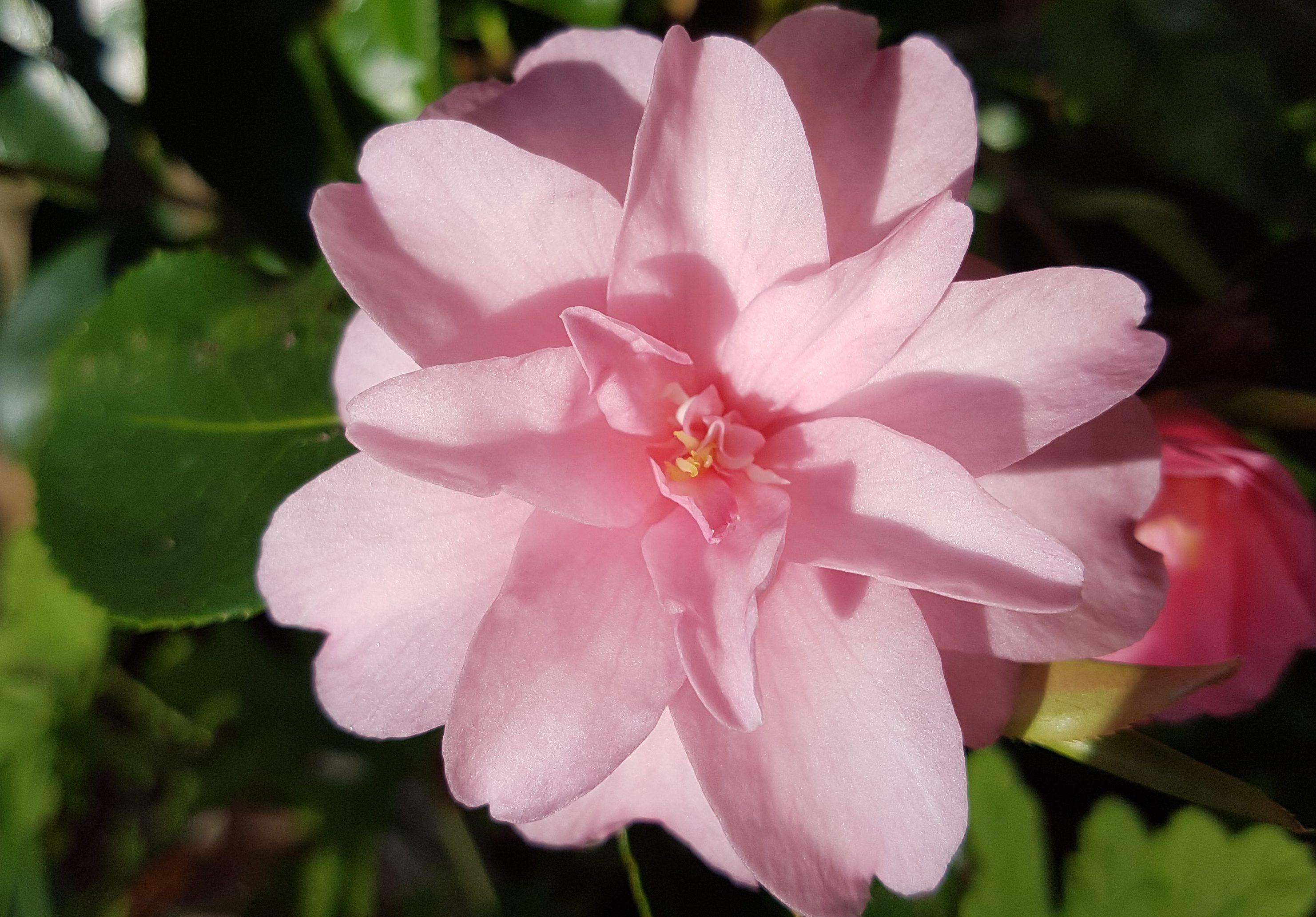 Dronninga i vinterhagen. Camellia japonica eller Kamelia