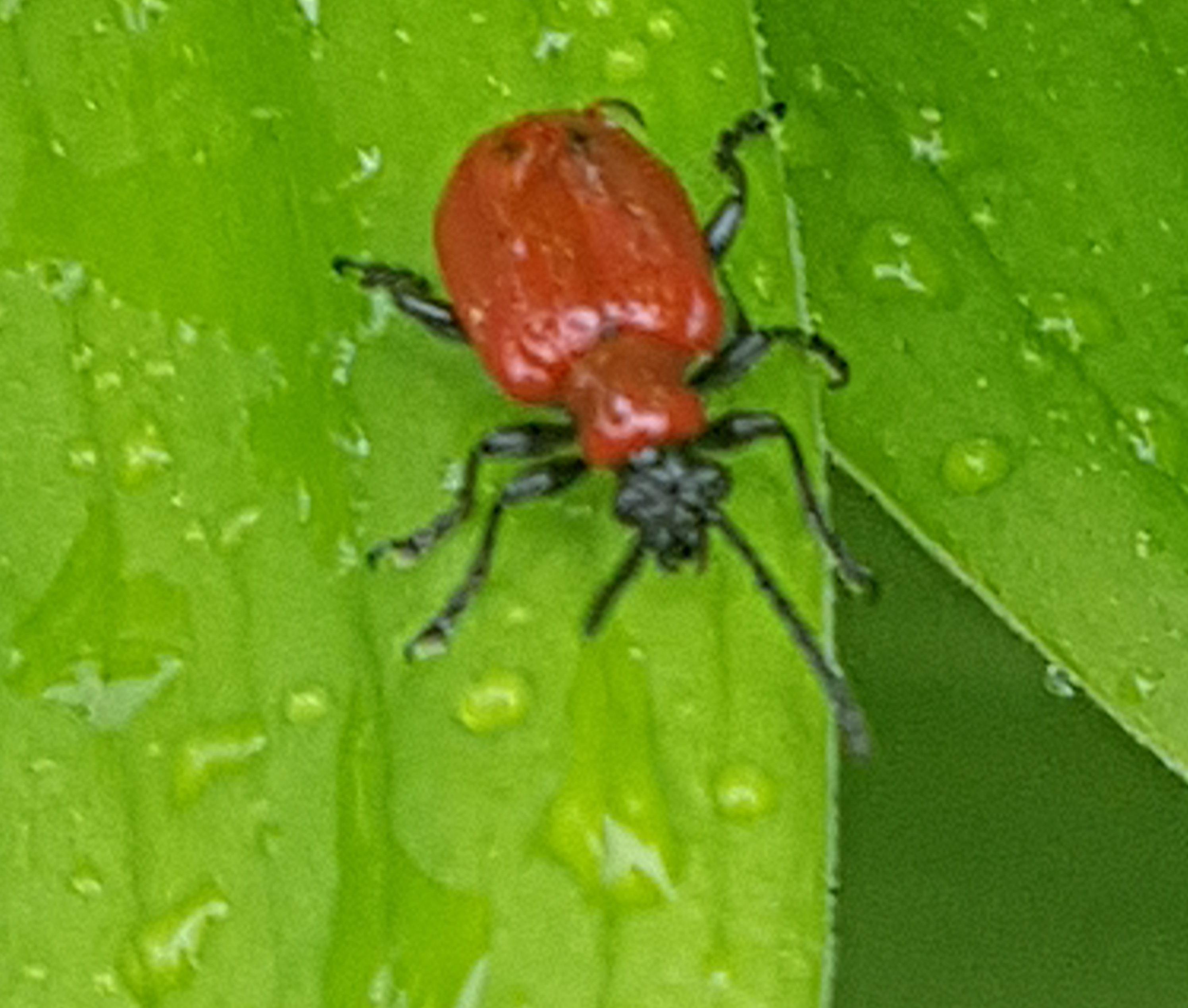 Uhyggelig oppdagelse… larver fra Liljebiller!