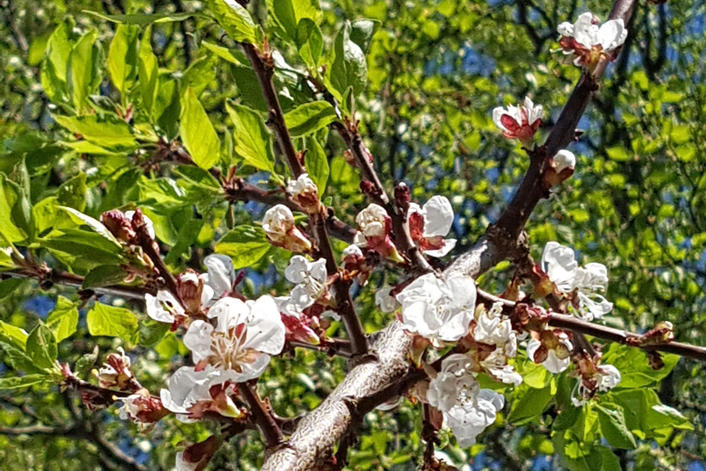 Hvordan jeg planter et nytt aprikos tre i hagen.