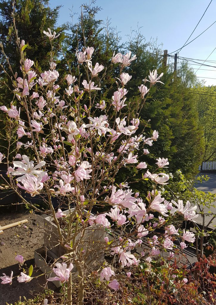 Hele busken er et syn i full blomst