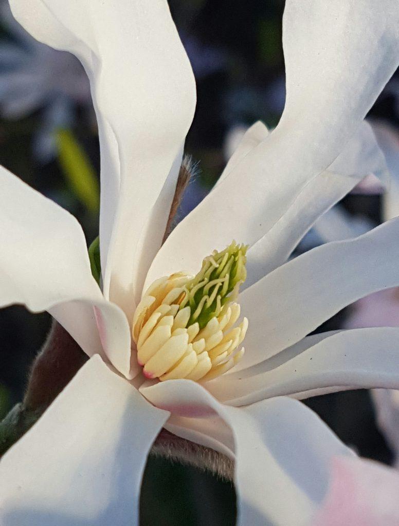 Magnolia detalj