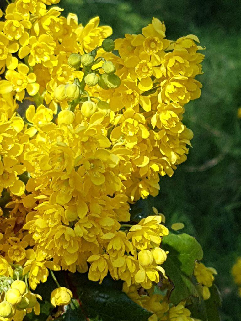 Blomsterdetaljene til Mahonia