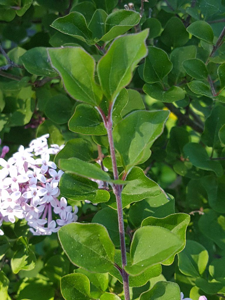 Dversyrin har små og noe rundere blader en den vanlige syrinen