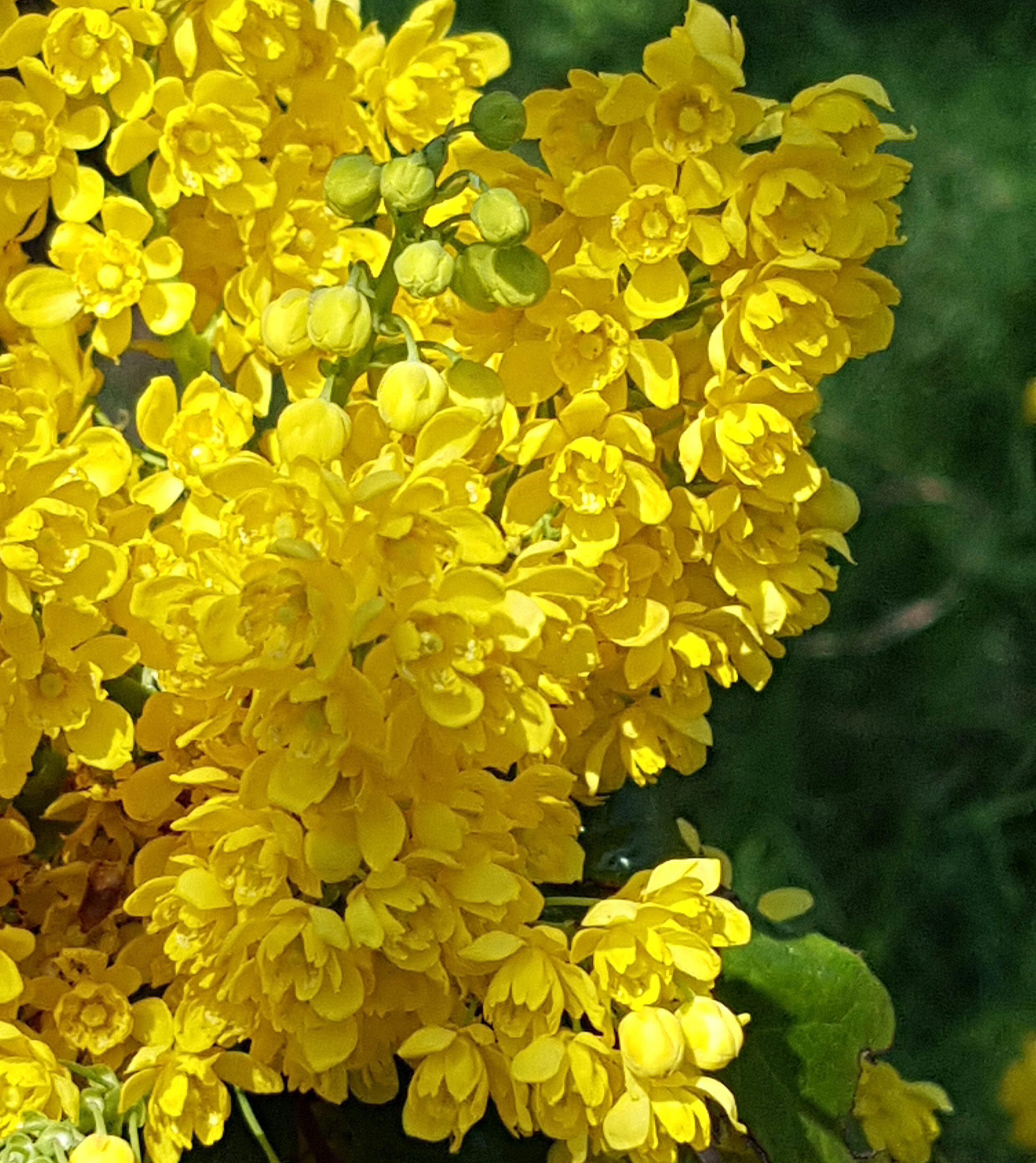 Eviggrønn Mahonia busk og ikke lett å bli kvitt…!