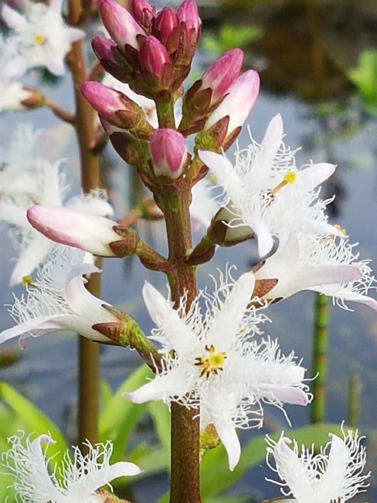 Bukkeblad sine utrolige detaljer i blomstene