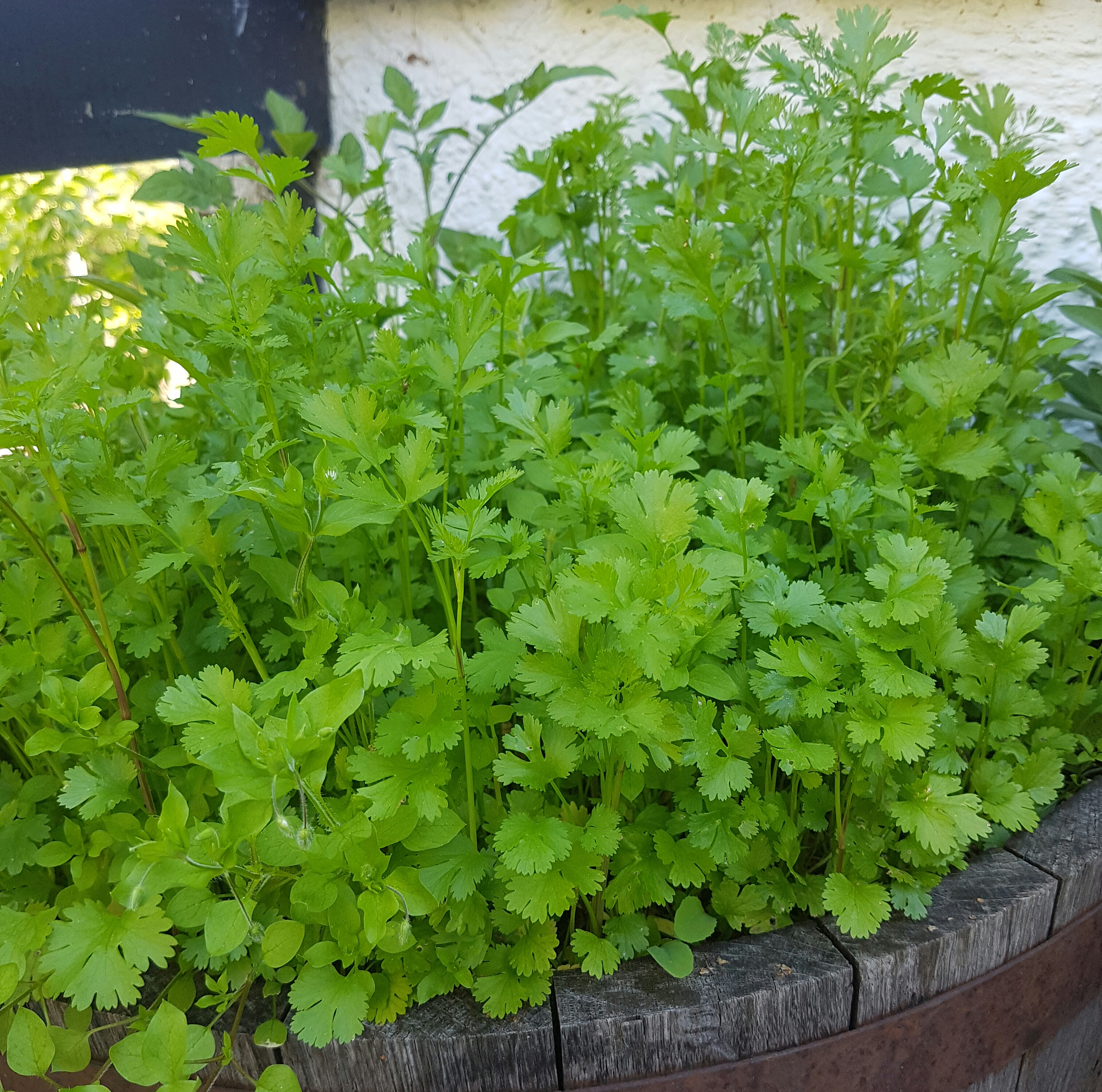 10 herlige urteplanter til krukke på terrassen eller balkongen!
