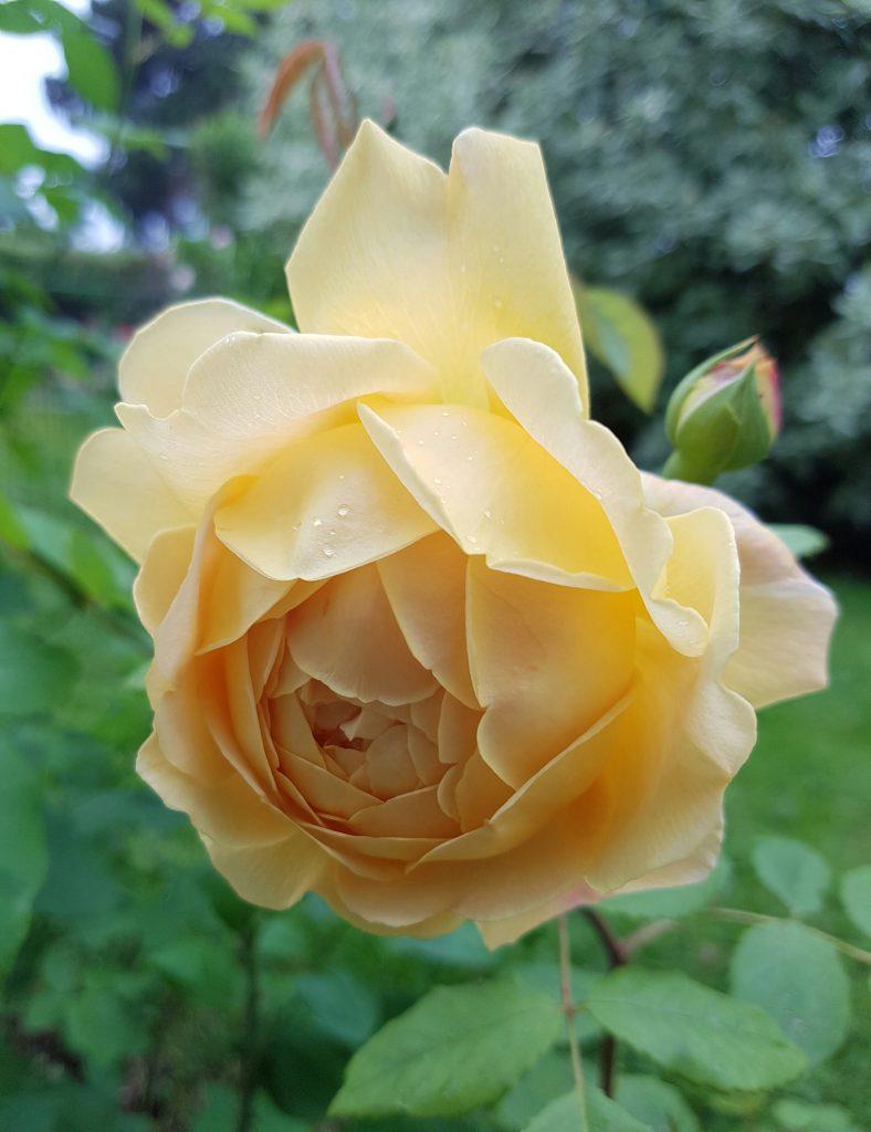 Austin rose