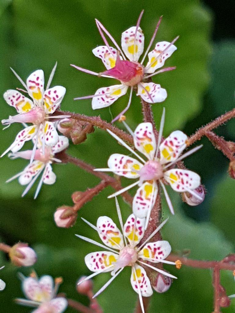 Flere blomster på hver stilk.