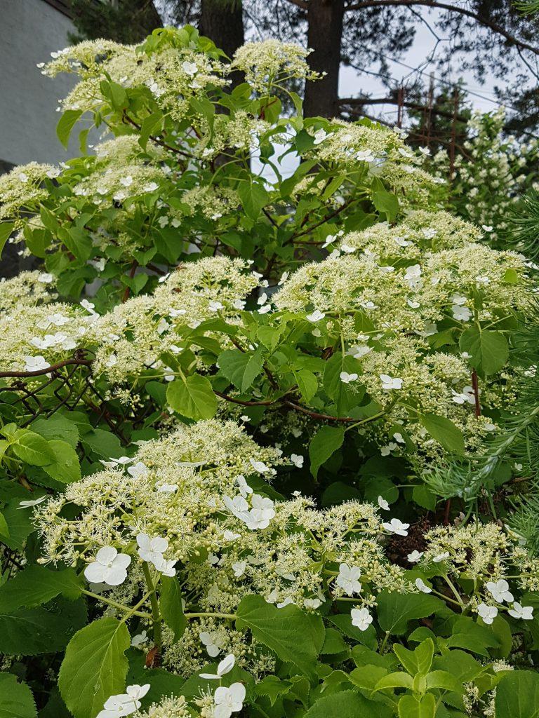 Her har jeg plantet Klatrehortensia mot et gjerde. Når den er etablert vokser den i god fart og danner en grønn fin vegg.
