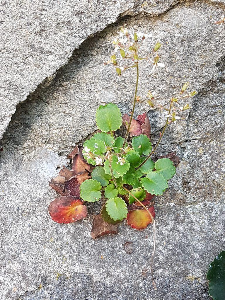 Skyggesildre frøplante i en murvegg