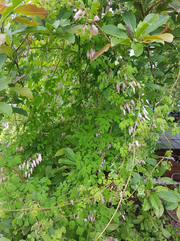 Adlumia fungosa i Magnolia busk