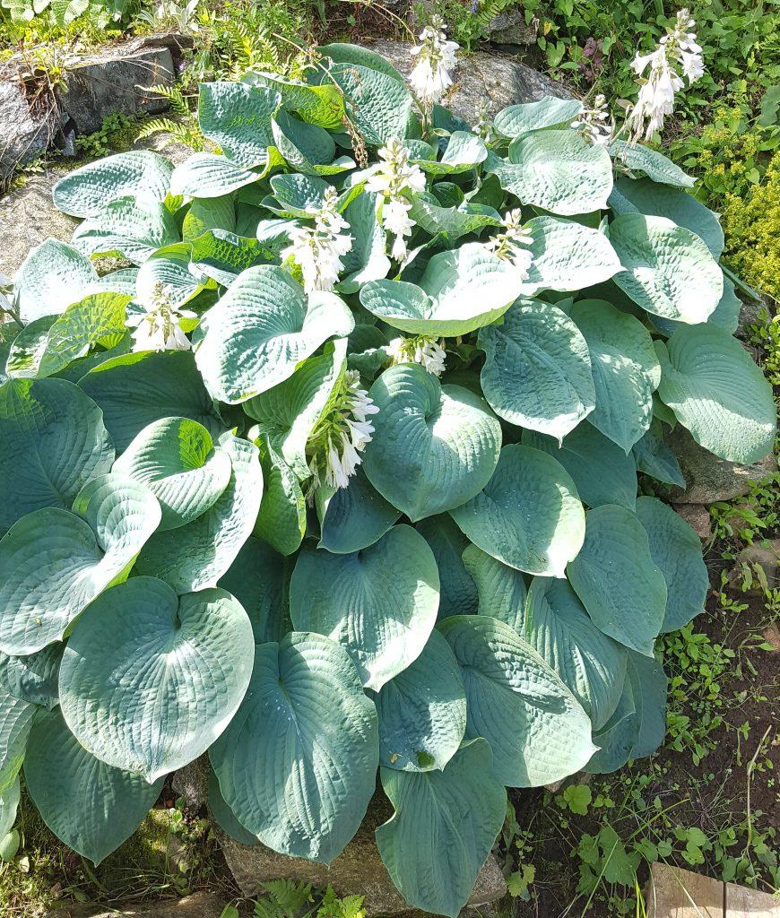 Hostaen som jeg kjøpte på høstsalg for noen år siden står å strutter med blader så store som dolokk.