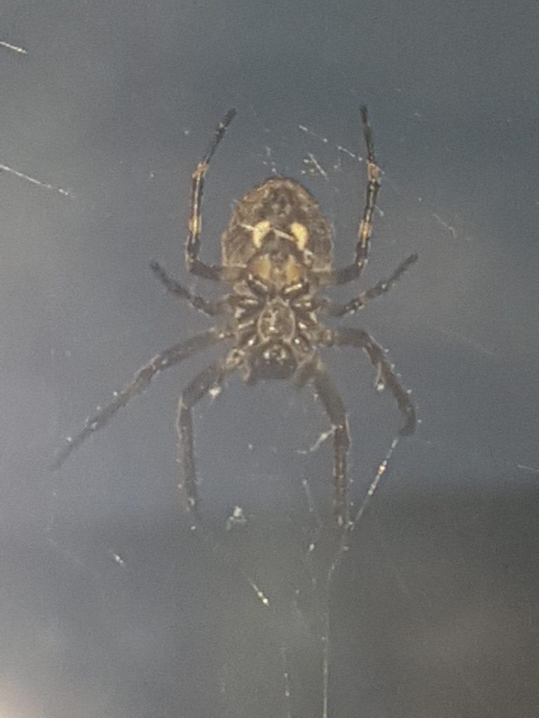 Samme edderkoppen som over, her tatt bildet med blits. Fantastiske tegninger og nesten litt skumle.