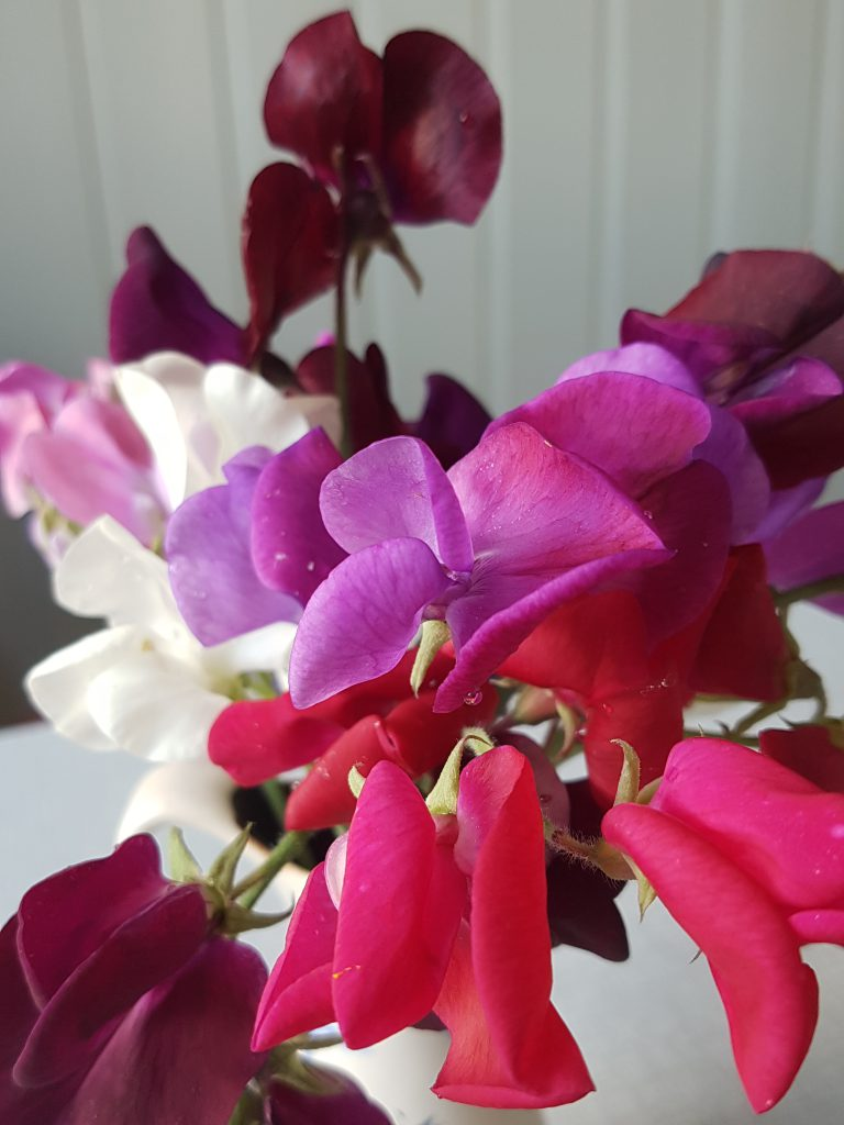 Latyrus odoratus, Luktert, Erteblomst, Blomsterert er navn som blir burkt om hverandre.