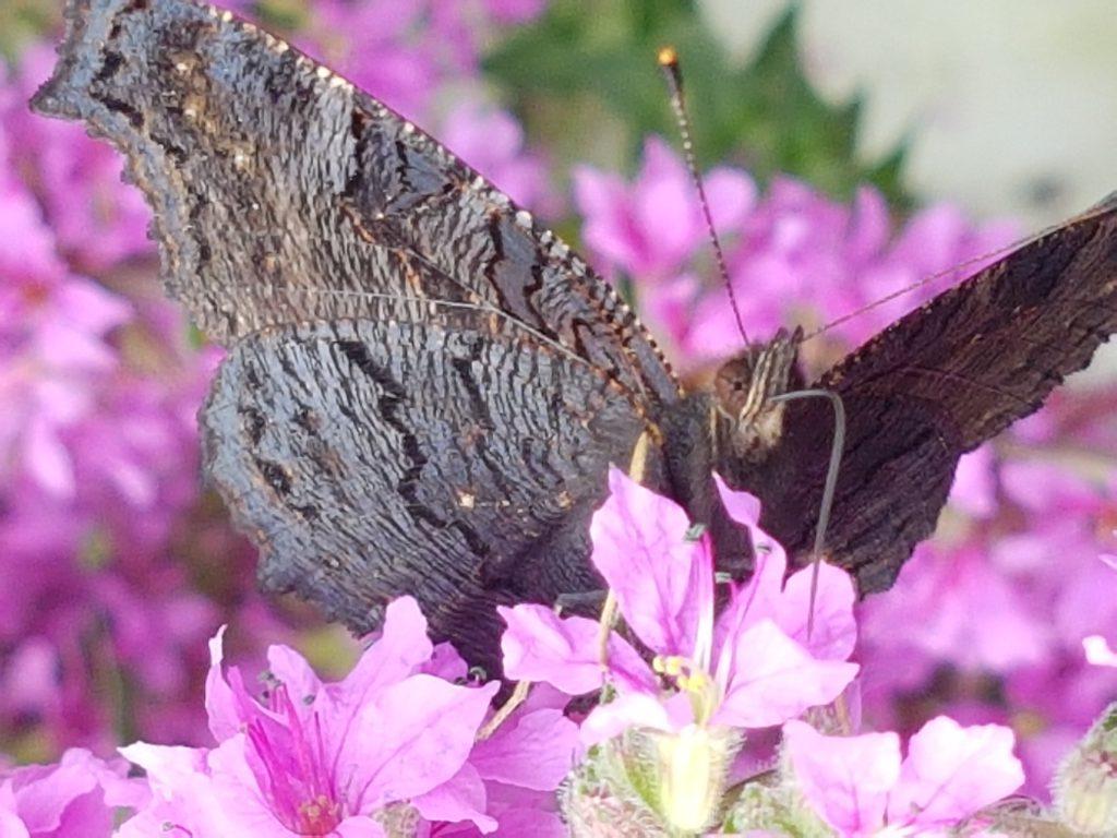 Baksiden av vingene er spraglete brune og perfekt kamuflasje. På vinteren gjemmer dem seg i sprekker og vedstabler hvor den nærmest blir usynlig.
