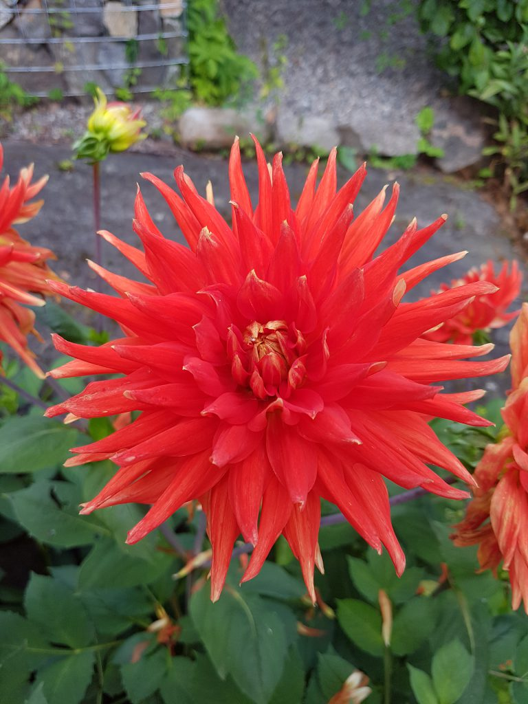 Enkelte Georginer er digre i blomsten og vil dermed samle mye vann i blomsten.