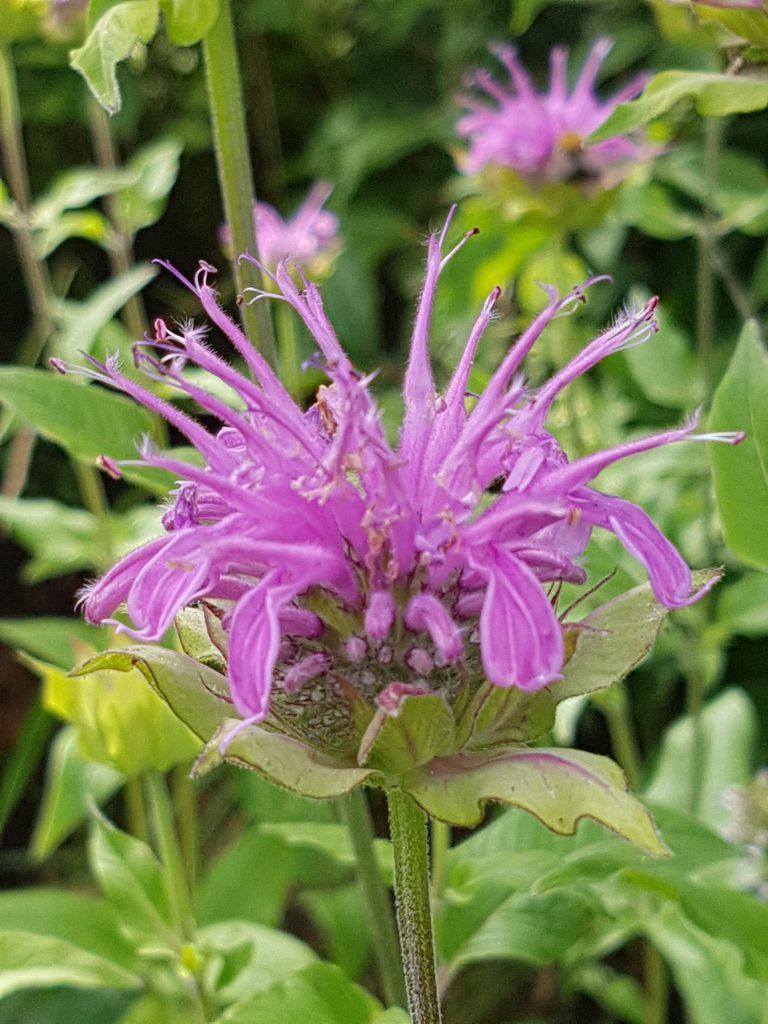 Monarda eller hestemynte. Bladene er gode til te, blomstenes kronblader er lekker farge i salater og