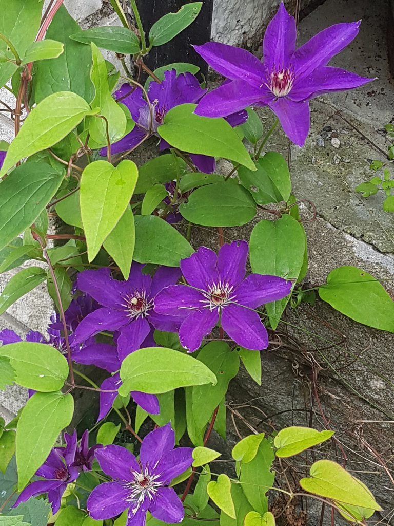 "Clematis ""The President"""