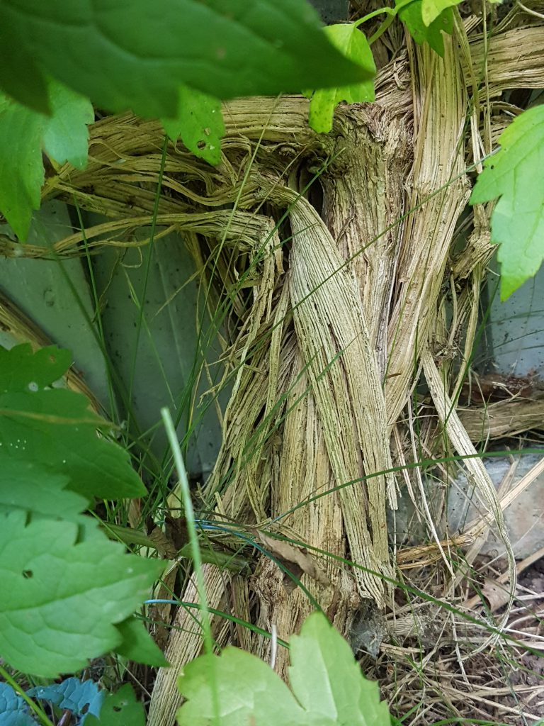 """Clematis """"Summersnow"""". Basen av planten blir tykk som en stamme i løpet av få år."""