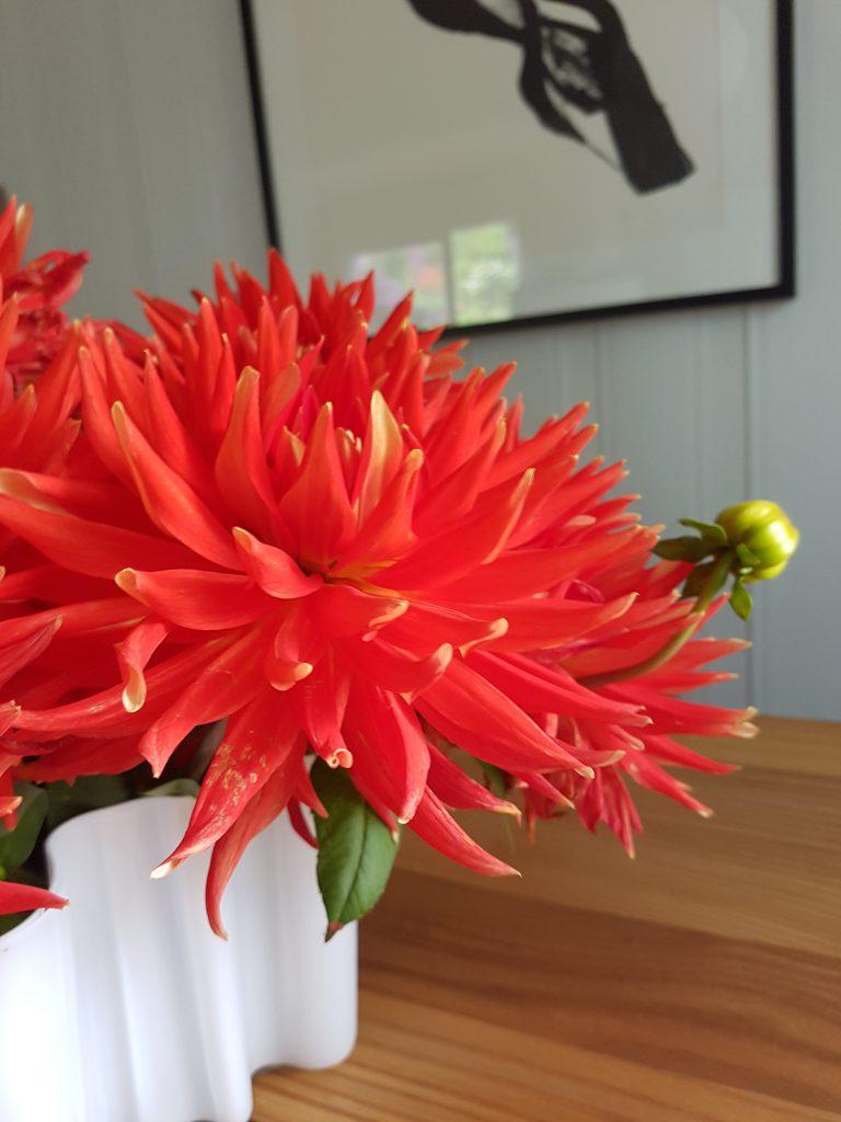 Georgine blomstene får peke oppover.