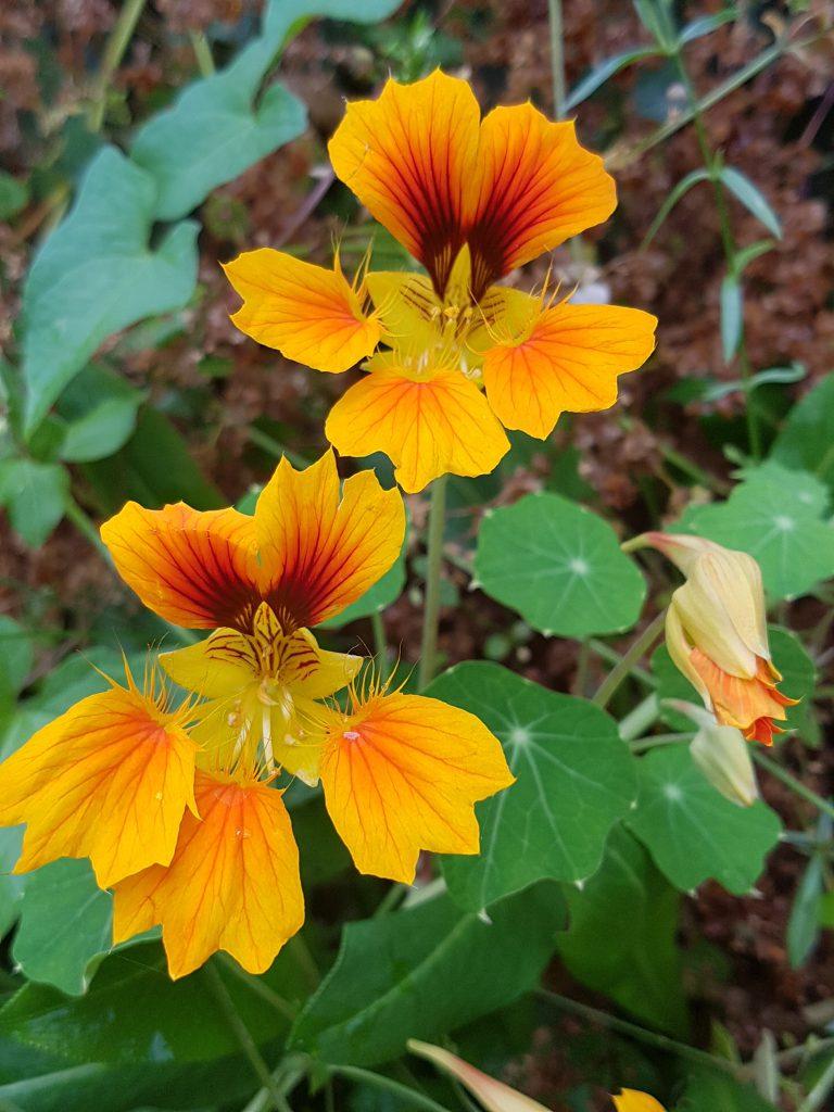 "Blomkarse ""Phoenix"""