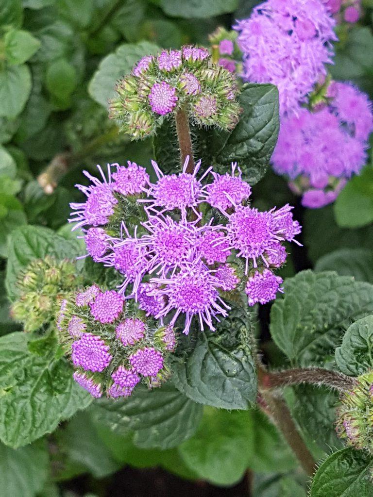 Ageratum endres seg fra knoppstadiet og til utsprungen. Fin å bruks som snitt hvis du har den i hagen.