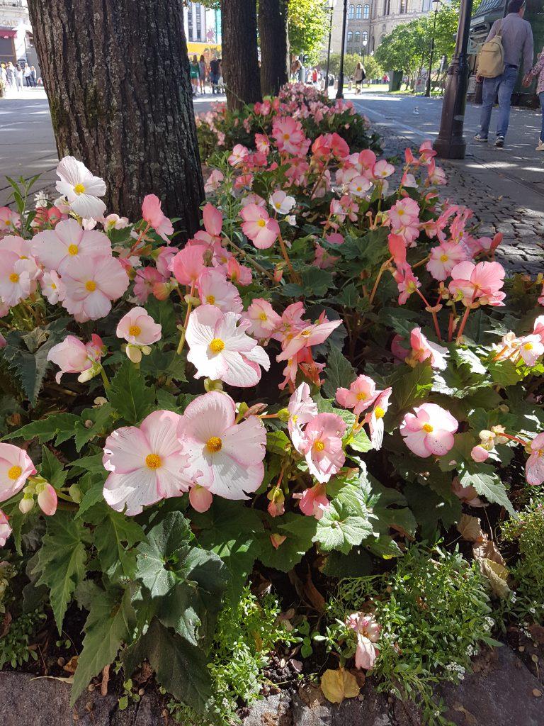 Blomsterbedene på Karl Johan