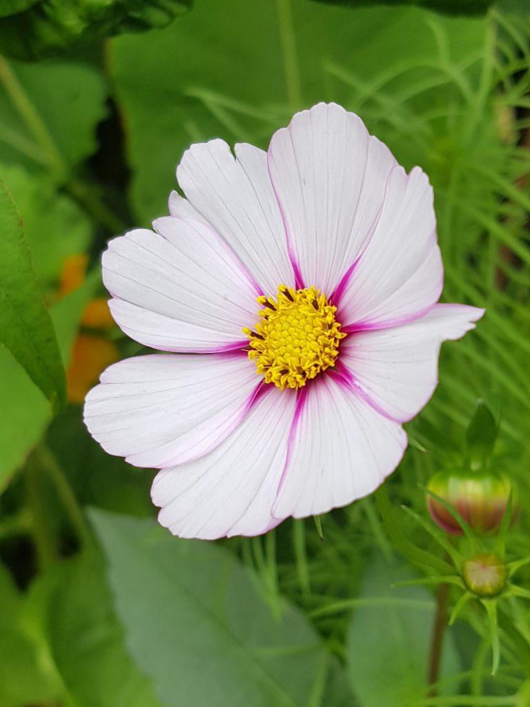 Variant av Cosmos. Klipp visne blomster eller klipp til vase. Begge deler stimulerer til ny knoppdannelse.