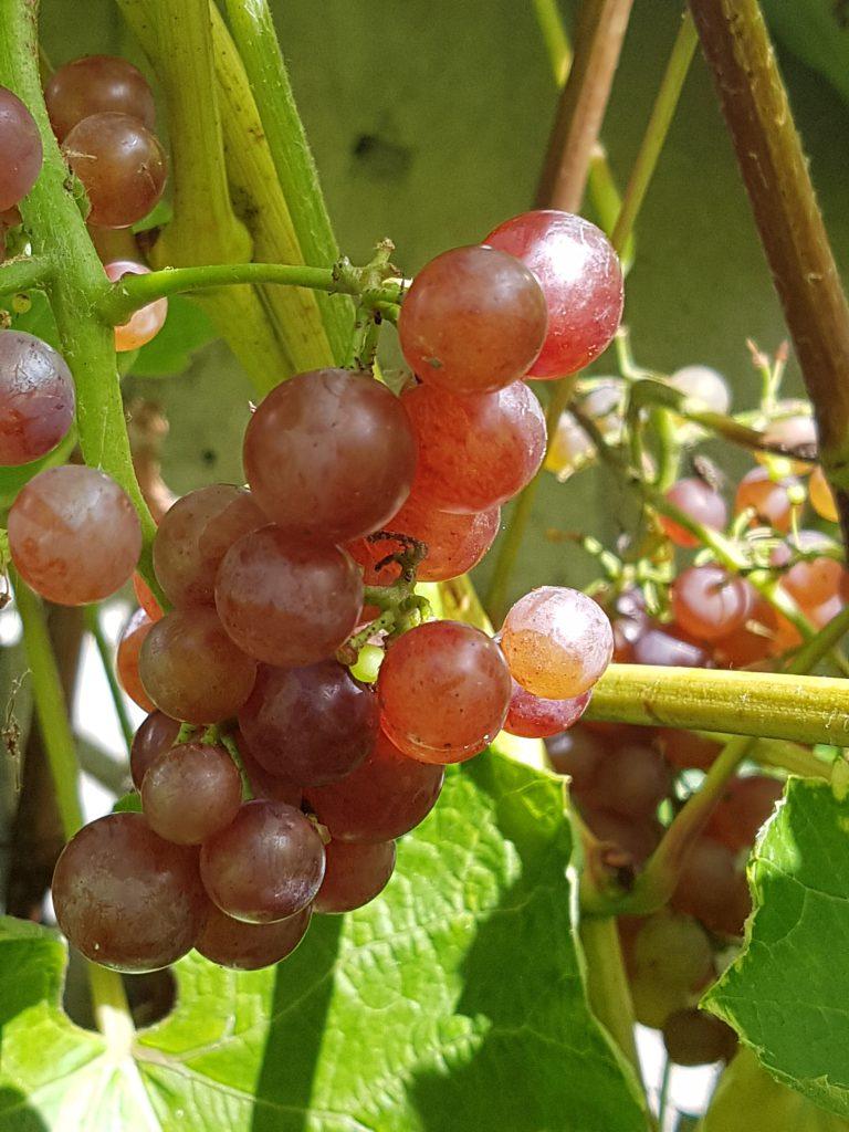 Dagens solvarme drueklaser med Summerset seedless.